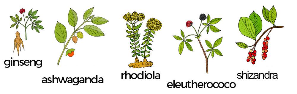 Adaptógenos: shwaganda, rhodiola, eleuterococo, shizandra y ginseng