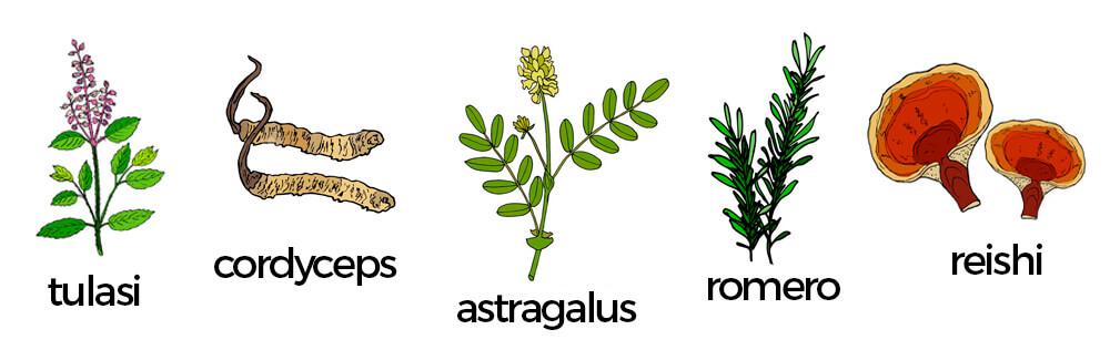 Adaptógenos: romero, astragalus, cordyceps, reishi y tulasi